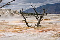 Dead Tree in Hot Spring at Mammoth Hot Springs